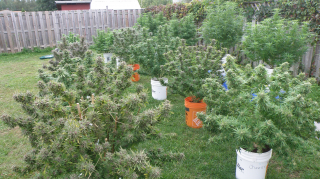 Growing Cannabis Outdoors | Harvest Time Soon