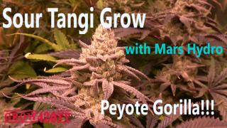 Sour Tangie Grow with Mars Hydro -Switch to flower. Peyote Gorilla!!!