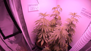Day 40 Great White Shark Grow Update