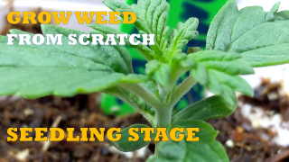 GROW WEED FROM SCRATCH : SEEDLING STAGE