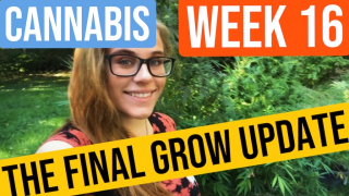 Week 16 Cannabis Grow Update *The Final Grow Update* | Brittany Allison