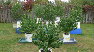 Growing Outdoor Cannabis Harvest Time Soon
