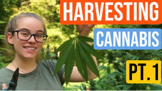 Harvesting Cannabis Plants Pt.1 *Cutting/Drying* |Brittany Allison