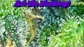 TWTGC! Here Is An Update We Have Been Waiting For, It's Finally Here!? End Of Week 8 Trichome Shots Too!