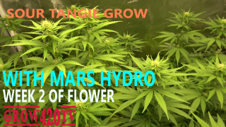 Sour Tangie Grow with Mars Hydro - Week 2 of flower!!