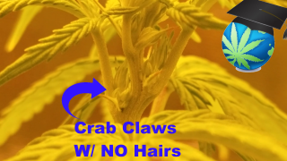 How To Identify Cannabis Males During Flowering - Wrong, But EASY