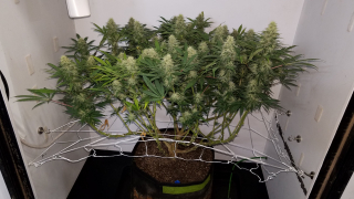 Northern Lights Organic Grow with Mars Hydro TSW 2000 - Day 35 of Flower - Fungus Gnat Treatment