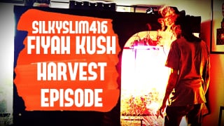SilkySlim416 FIYAH KUSH HARVEST EPISODE Easiest