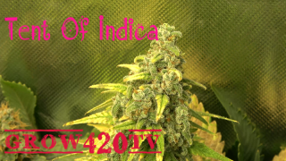Tent Of Indica