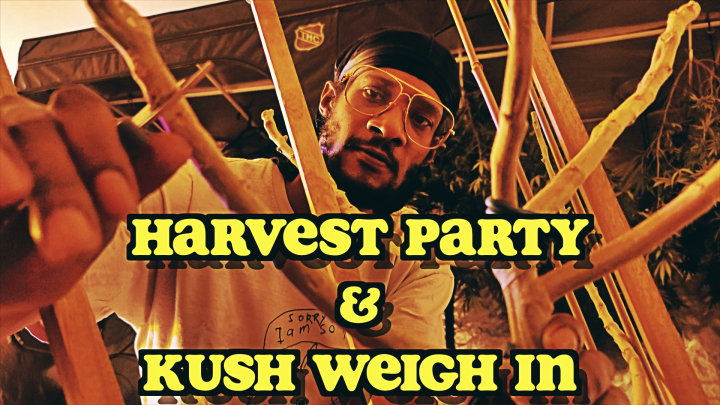 HARVEST  PARTY  & WEIGH IN OF 1st HALF OF STAGGERED ORGANIC CANNABIS HARVEST