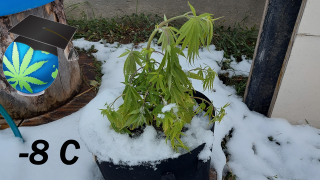 Can Cannabis Plants Survive A Cold Night? FROST Test + Journal Update