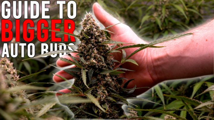 HOW TO GROW WEED EASILY (AUTOFLOWERS)... JUST ADD WATER: GUIDE TO BIGGER BUDS. EP 3