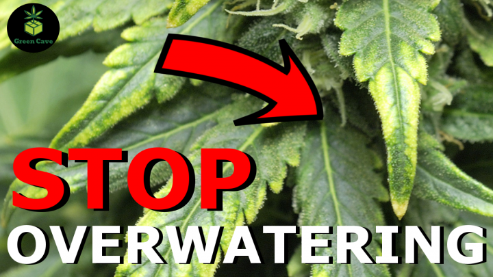STOP OVERWATERING YOUR CANNABIS PLANT! - Week 4 First Grow