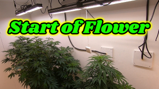 Start of Flower / Mars Hydro SP3000