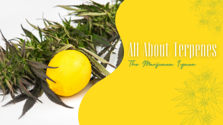 All About Terpenes | What Are Terps & How They Work