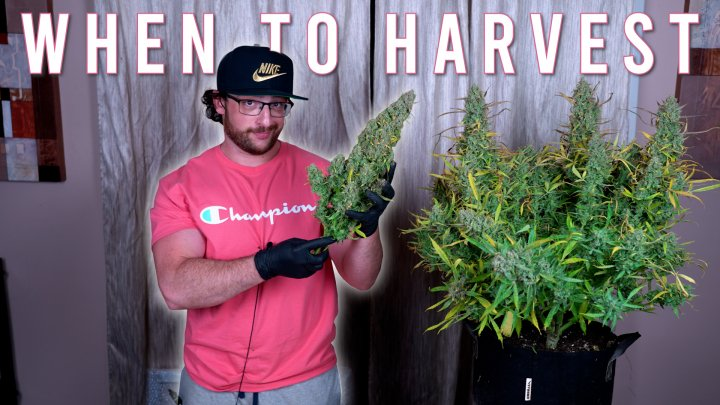 HOW TO GROW WEED EASILY (AUTOFLOWERS)... JUST ADD WATER: WHEN TO HARVEST GROWING ORGANICALLY. EP4