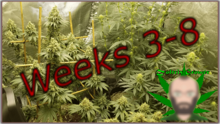 Week 8 Dragon Slayer and White Widow | Mars Hydro Cup