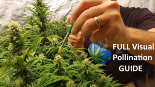HOT, YOUNG Sativa Female COVERED In THICK Male Pollen -  Pollen Collection & Application Guide