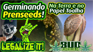 ✌ Como GERMINAR as SEEDS de PRENSADO!!! ✌