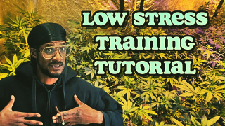 QUICK & EASY LOW STRESS TRAINING (LST) TUTORIAL
