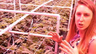 Women Runs Own Commercial Cannabis Grow Operation --HYGGE FARMS