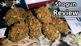 SHOGUN REVIEW + ROSIN TATANKA CBD