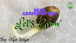 Cannabis Seed Germination... Let's Grow