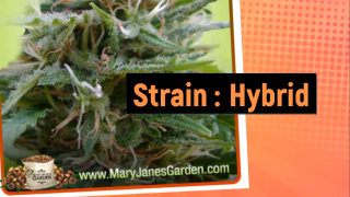 Black Jack Feminized Marijuana Seeds Cannabis Strain Mary Janes Garden