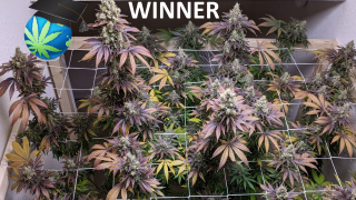 Lex's Grow-Off 2020 WINNER, Finalists Slide Show & Early Durban Journal Last Look
