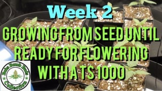 Week 2 Update, Growing From Seed Until Ready For Flowering Under A Mars Hydro TS 1000