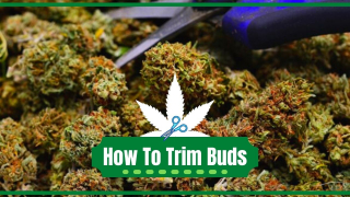 How To Trim Marijuana Buds