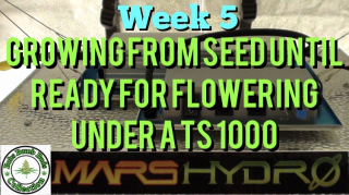 Week 5 Update, Growing From Seed Until Ready For Flowering Under A Mars Hydro TS 1000