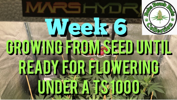 Week 6 Update, Growing From Seed Until Ready For Flowering Under A Mars Hydro TS 1000