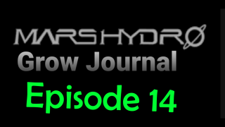 MarsHydro Grow Journal  #SP3000 #FC6500  #MARSHYDROSP6500  Episode 14 Marijuana Tree