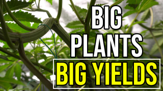 Veg Training for Huge Flower Plants - How to Grow Weed at Home