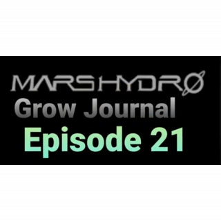 MarsHydro Grow Journal   #FC6500  Final Flash under TS-600 LED  #MARSHYDROSP6500  Episode 21