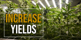 My Defoliation Technique to Increase Yields - How to Grow Weed from Home