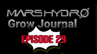 MarsHydro Grow Journal  #FC6500  RDWC / Blue Dream #MARSHYDROSP6500  Episode 29